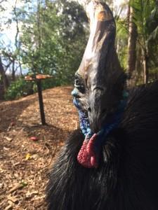 cassowary in australia